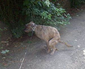 English: Dog taking a poop. In compliance with...