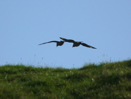 21674 - Great Skua on Mull