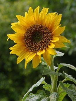 flor tropismo girasol sunflower