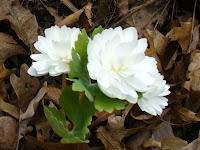 Bloodroot in our own garden