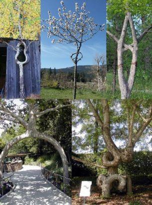 Copaci  dresati  sa creasca in forma de inima, chitara, opt sau arcada! FOTO