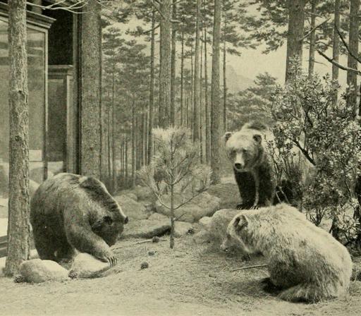 Mexico grizzlies