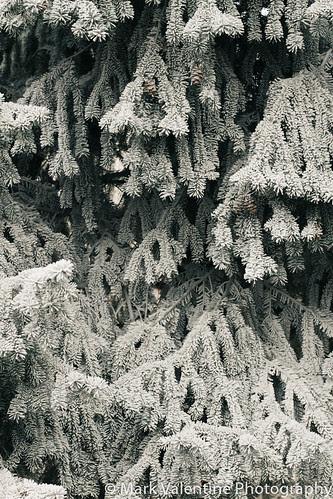 Cold Christmas Tree (1 of 1)