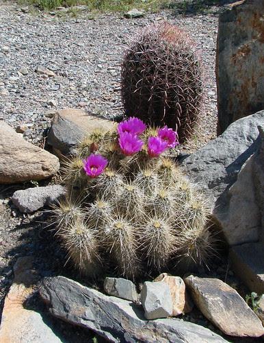 DSC05537 Taliesin West cacti