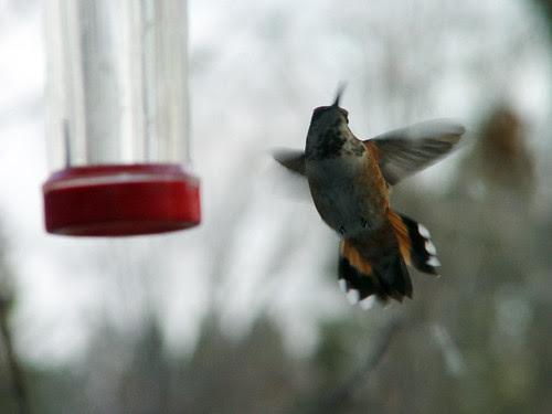 Viola the Rufous Hummingbird