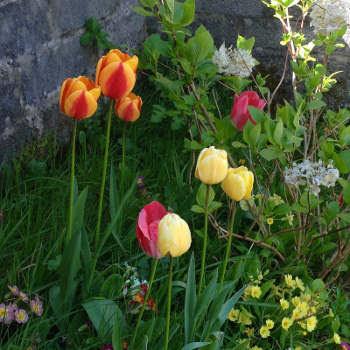 tulips2016.jpg