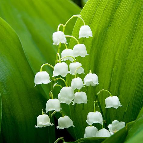 The Meaning And Symbolism Of The Word Lily Of The Valley