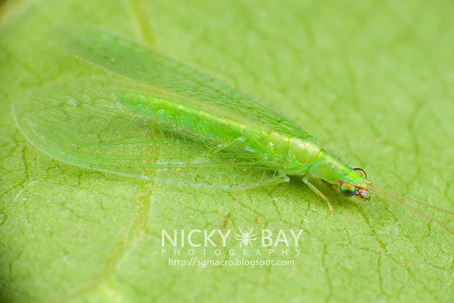 Green Lacewing (Chrysopidae) - DSC_6073