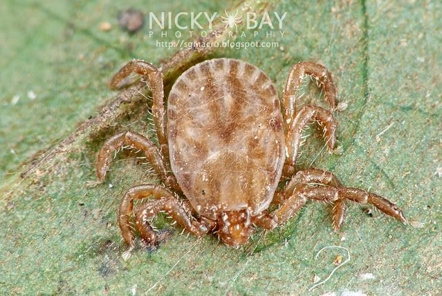 Tick (Ixodida) - DSC_5984