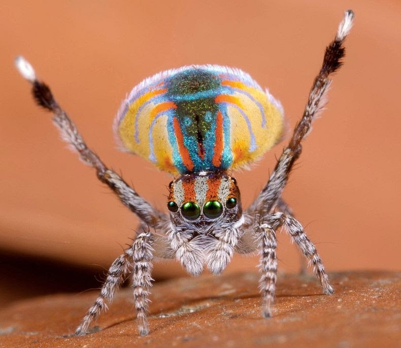 peacock-spider-11