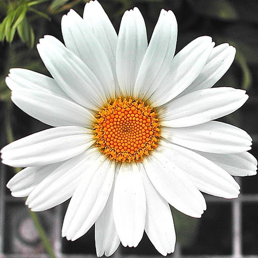 The Meaning And Symbolism Of The Word Daisy