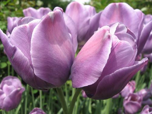 twin tulip