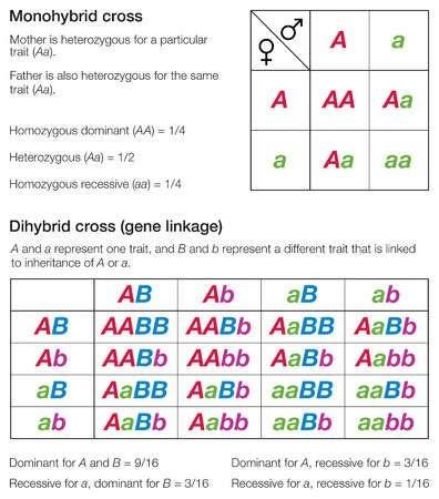 Monohybrid And Dihybrid Crosses Worksheet Answer Key ...