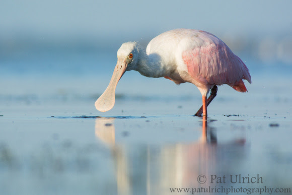 Roseate spoonbill feeding in the shallows in Fort Myers