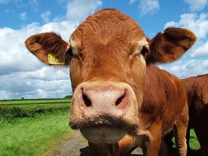 Lazo familiar indeseable: Dos razas comunes de vacas en Costa Rica presentarían problemas