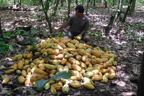 Un cultivador de cacao en un área deforestada.| Efe