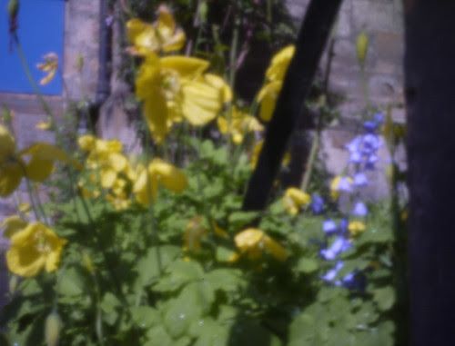 Papaver nudicale and Scilla