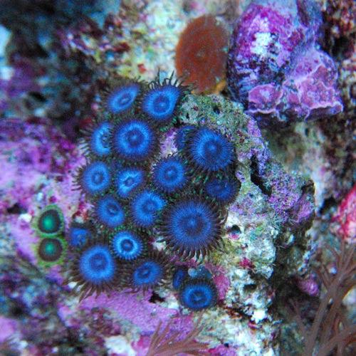 Caribbean Blue Zoanthus