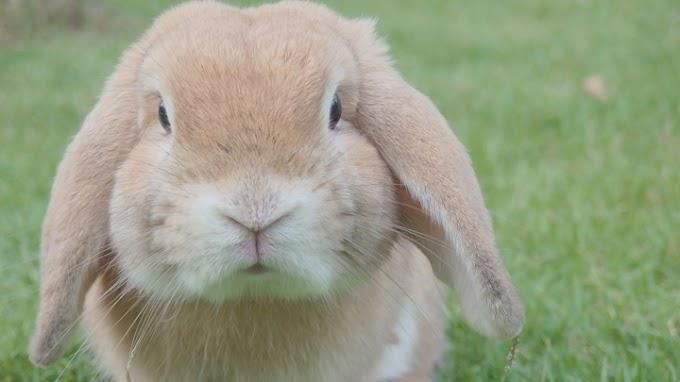 Conejos: las razas más demandadas como mascota