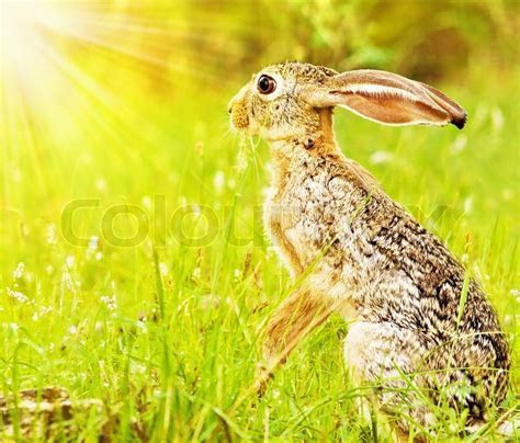Wild african hare, sitting on the flower field, game drive, wildlife safari, animals in natural