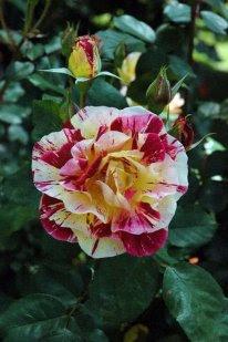 Las Rosas, siempre preferidas desde la antigüedad.
