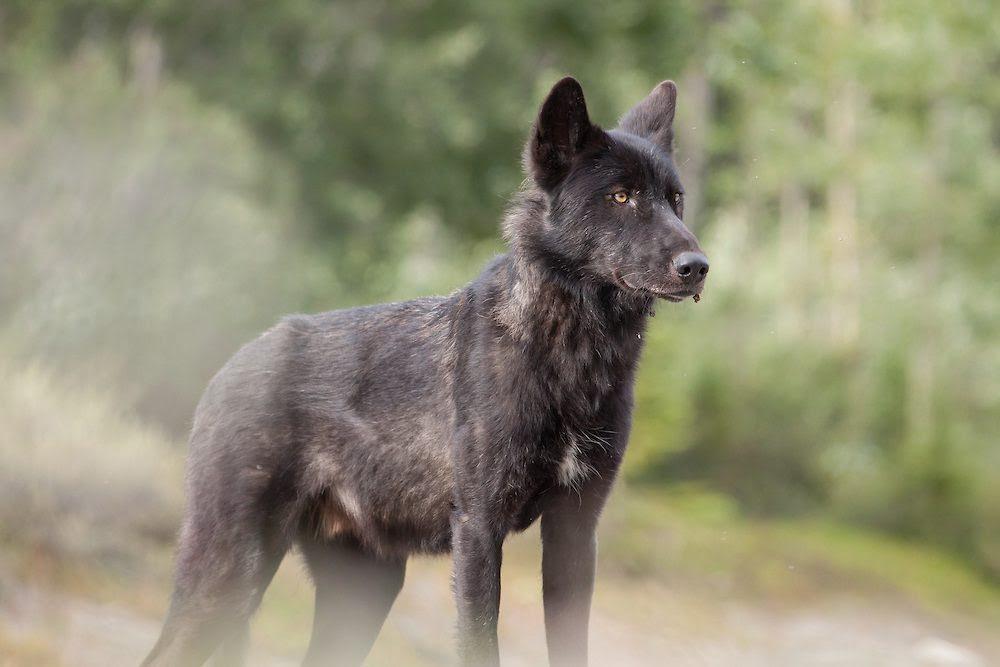 Cachorro De Lobo Salvaje Imágenes Y Fotos