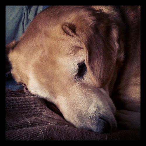 Sleepy Sophie #lazyday #dogstagram #hound #adoptdontshop #rescue #dogs