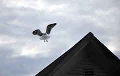 Seagull_7410f