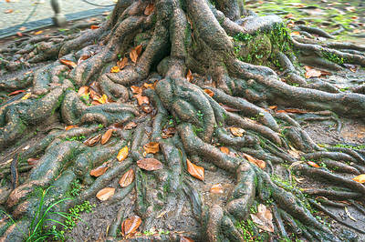 banyan tree root