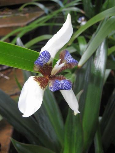 Fiji Iris