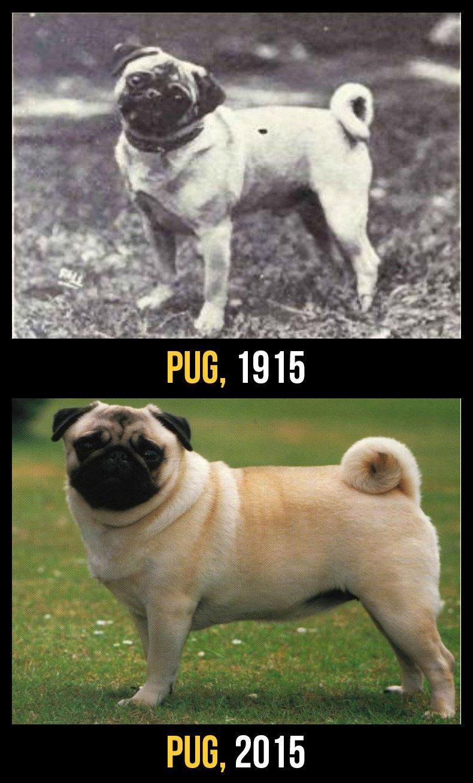 razas perro evolucion 9