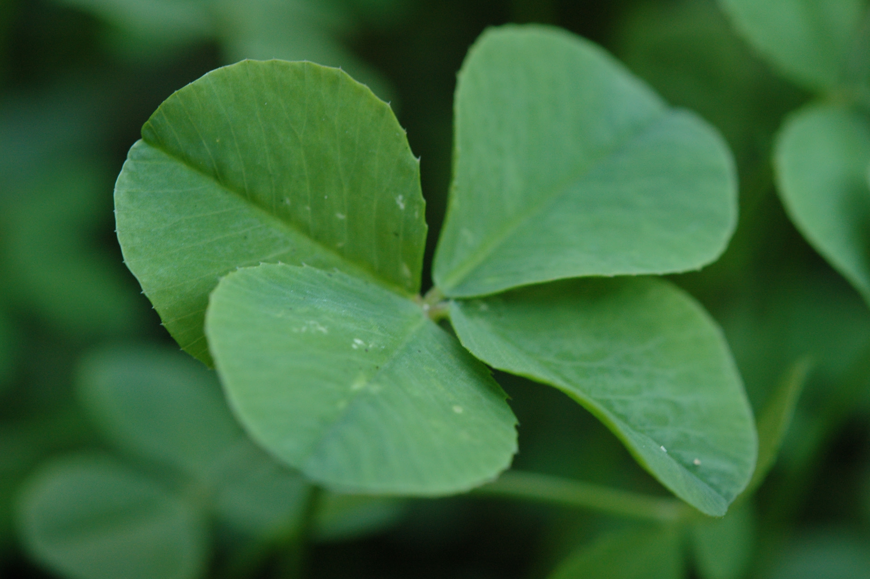 The Science Of Shamrocks Whats So Lucky About A Four Leaf Clover