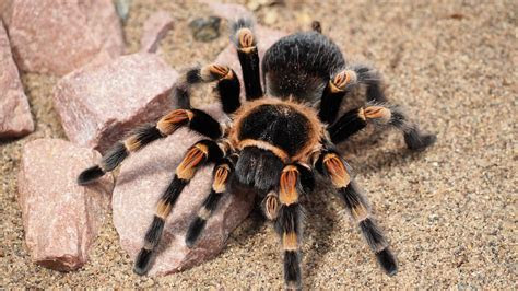 Free photo: Tarantula, Spider, Animal, Hairy   Free Image on Pixabay   1416354