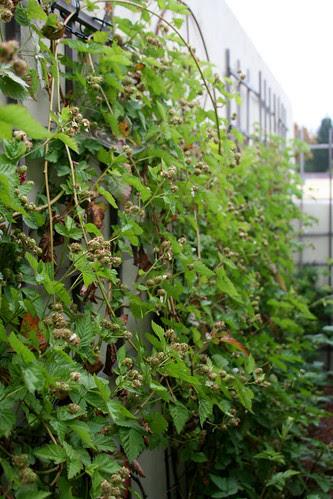 wall o' blackberries