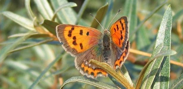Fêmea da espécie Lycaena phlaeas