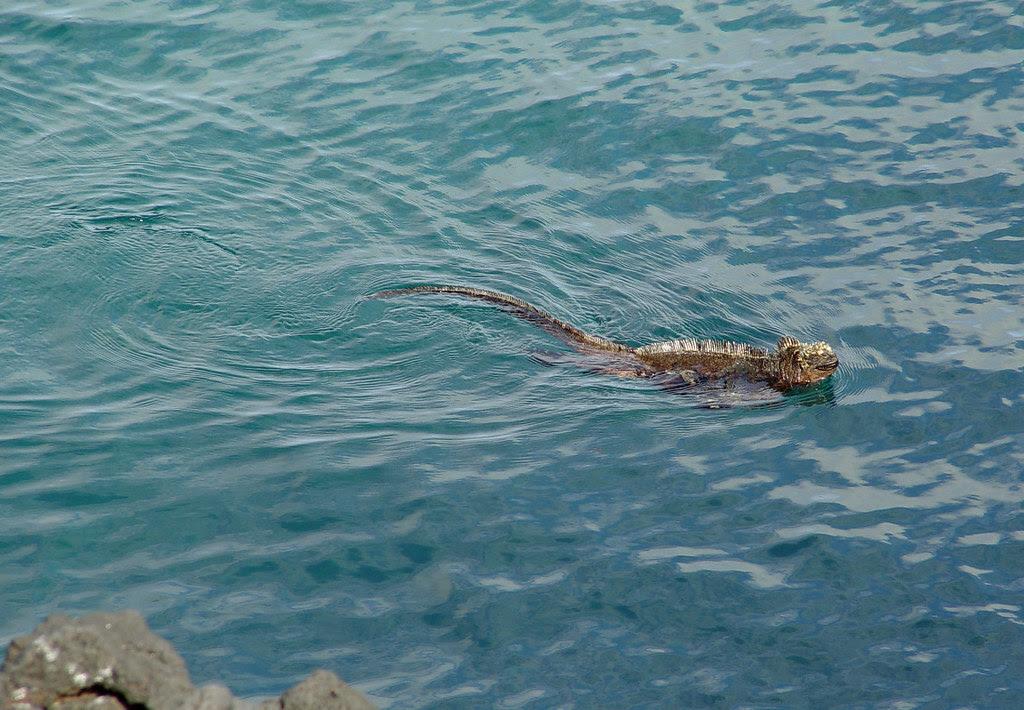 DSC00861 marine iguana swimming
