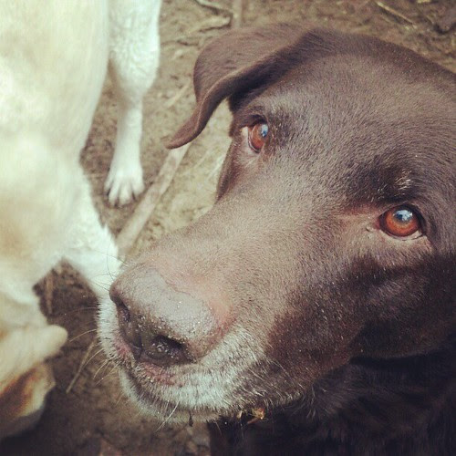 Its the eye of the labrador, its the thrill of the fight