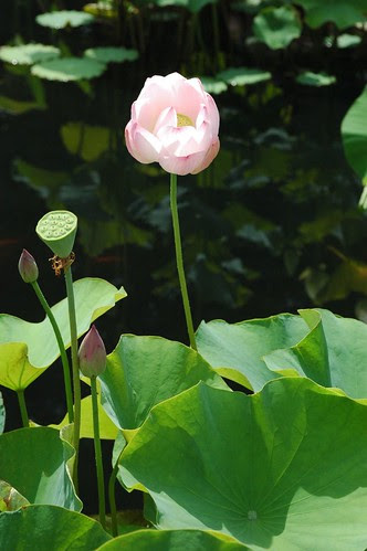 Brooklyn Botanic Garden, Lily Pool Terrace, Lotus in bloom