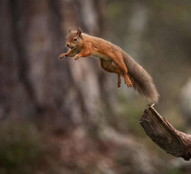 Red Squirrel jumping away with mouthful of food