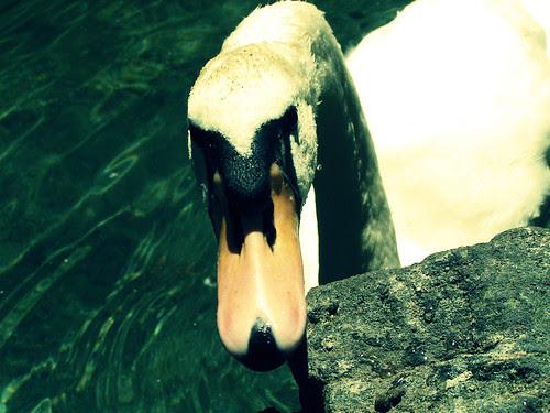 swan 3
