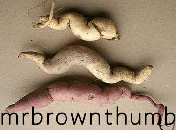Storing Sweet Potato Vine Tubers
