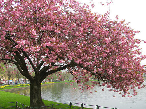 Trees Images Cherry Blossom Tree Wallpaper And Background Photos