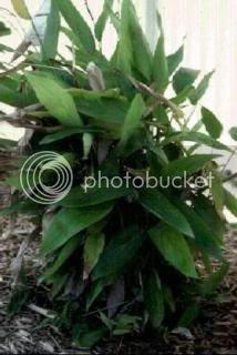 Pokok Ubi Bembang