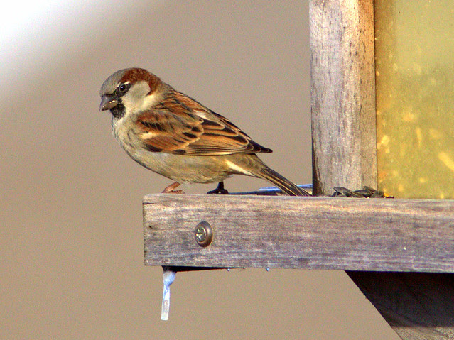 House Sparrow male 2-20130115