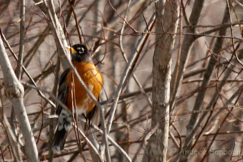 First Robin of Spring (Turdus migratorius) (5 of 6).jpg