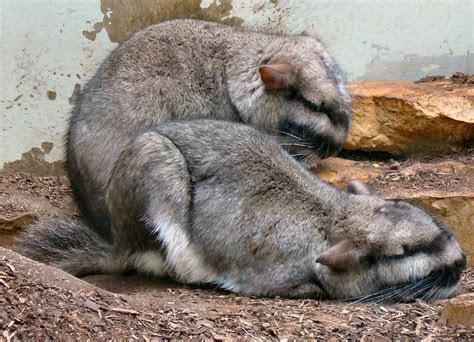 Viscacha ? Wikipedia
