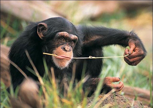 """Cómo se """"medica"""" un chimpancé"""