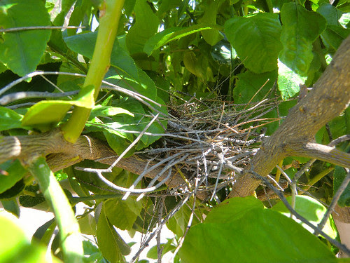 Morning Dove nest in Lemon Tree  #3 by angryparsnip