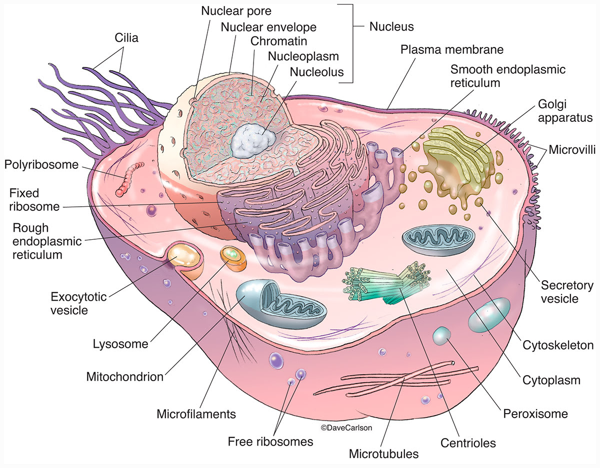 Animal Cell Generalized