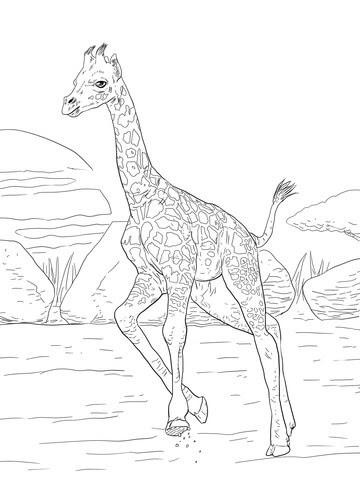 rothschild giraffe calf coloring page  free printable